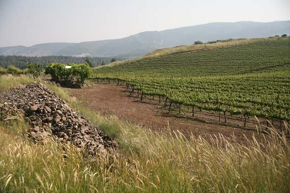 1margalit_vineyard_galilee