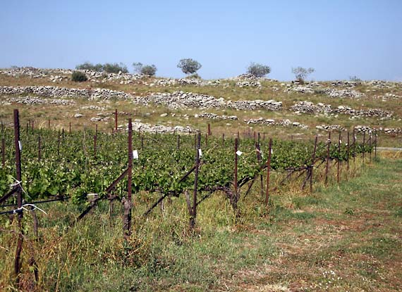 1il_saslove_vineyard