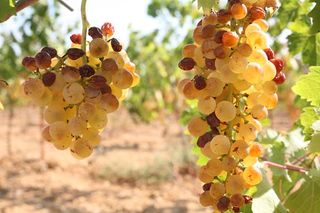 1correns_white_grapes