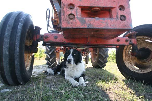 1noella_morantin_tractor_CRB_dog