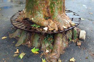 1correns_plane_tree_bench1