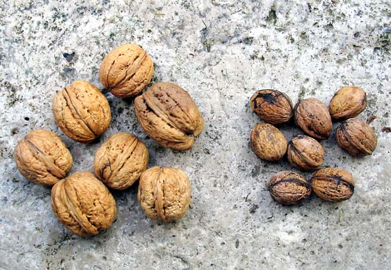 1wn_ukraine_walnuts