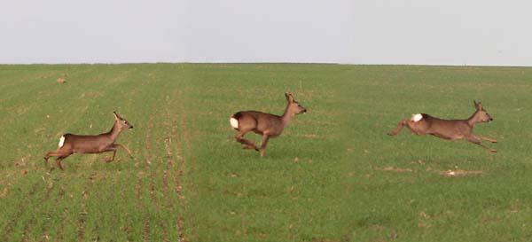 1roe_deer_wine_running