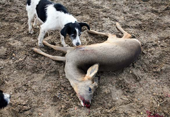 1roe_deer_wine_lying_still