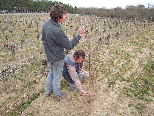1griottes_orchard_vineyard