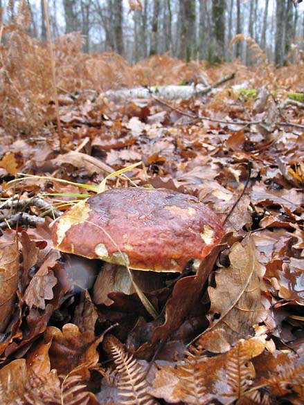 1mushrooms_dec09_boletus