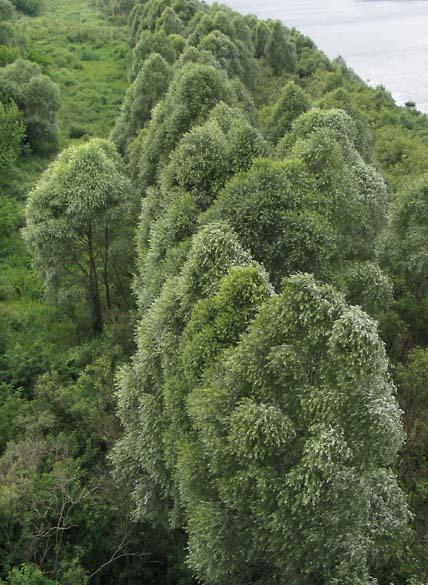 1rus_arbres_oka