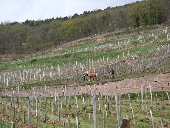 1horse_plowing_alsace_steep