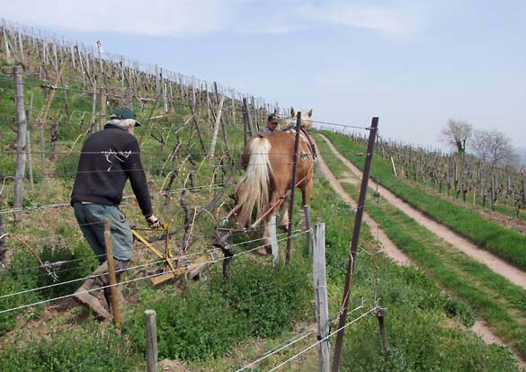 1horse_plowing_alsace_bord_chemin