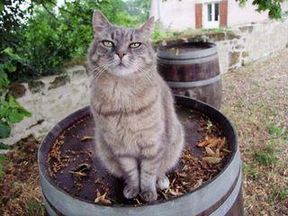 1ampelidae_lavauguyot_cat_casks