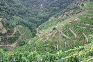1allemand_reynards_vineyards