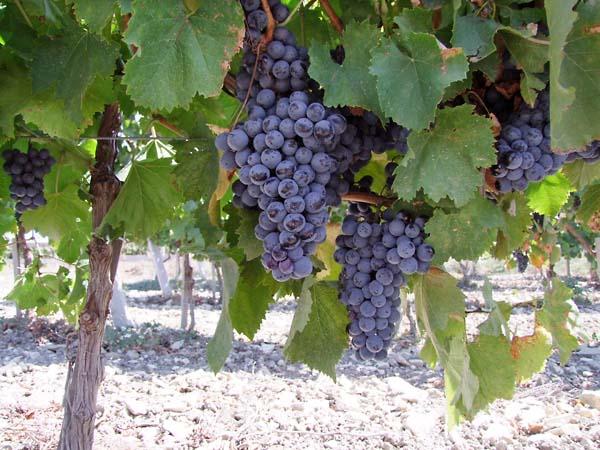 1gai_kodzor_grapes_pendantes