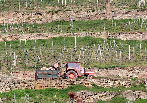 1horse_plowing_vineyard_tractor
