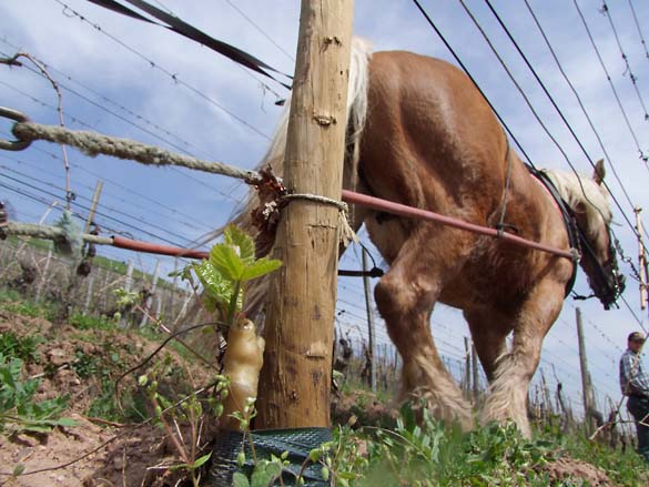 1horse_plowing_alsace_grafted_vine