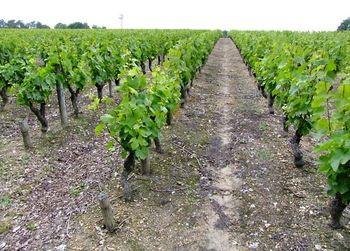 1CRB_verticale_marionnet_vineyards