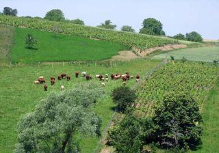1bouju_boheme_auvergne_cattle