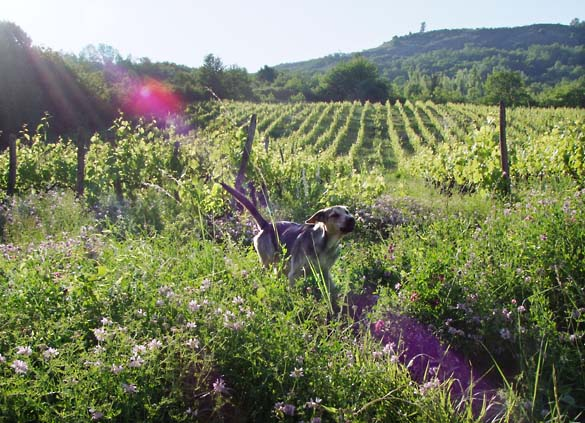 1francois_dhumes_vineyard_running