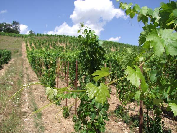 1dard_ribo_les_baties_vineyard