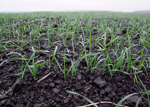 1wine_winter_wheat_chernozem