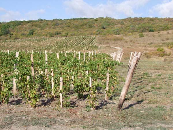 1ivan_karakezidi_vineyards_anapa