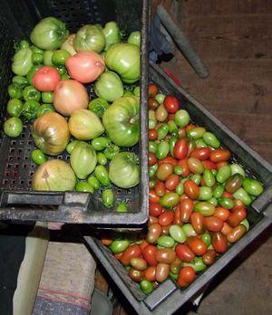 1organic_russia_tomatoes