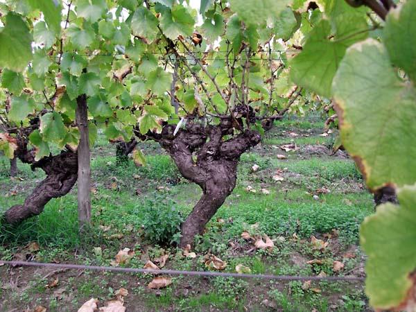 1pepiere_ollivier_old_vines