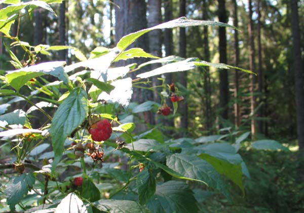 1organic_russia_picking_berries2
