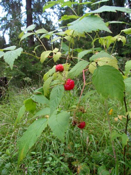 1organic_russia_picking_berries6