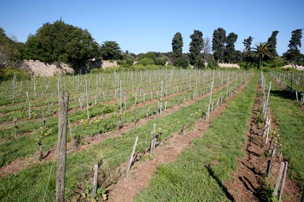 1abbaye_de_lerins_vineyard_young_vines
