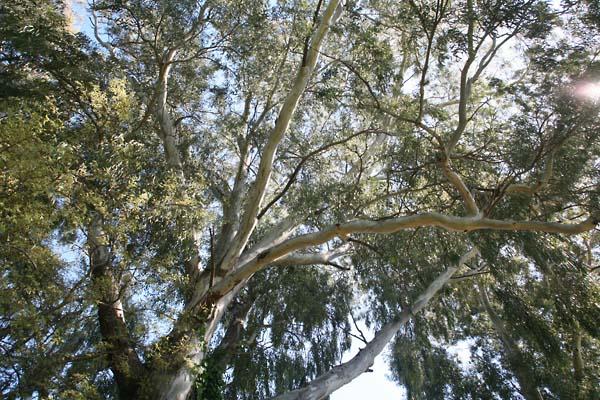 1abbaye_lerins_eucalyptus