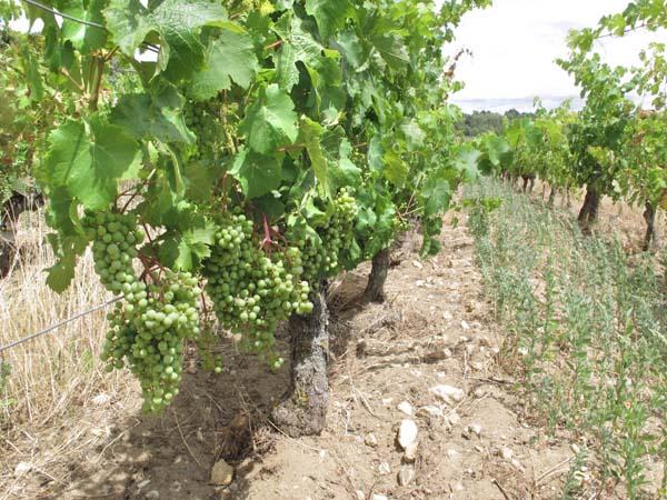 1clos_cristal_cabernet_franc_grapes