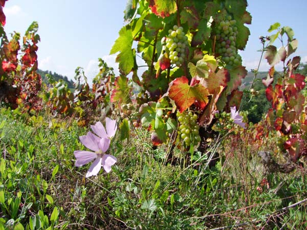 1julie_balagny_flowers_vineyard