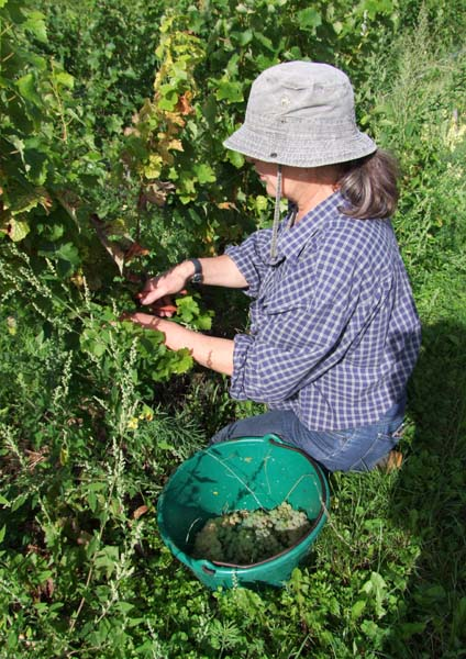1CRB_harvest_sauvignon_catherine_picking