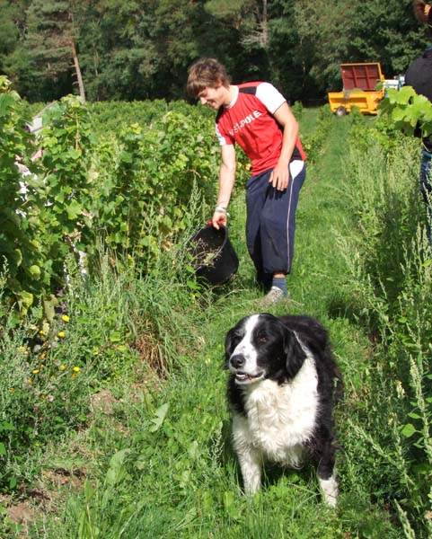 1CRB_harvest_sauvignon_dog