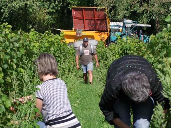 1CRB_harvest_sauvignon_laurent_ready