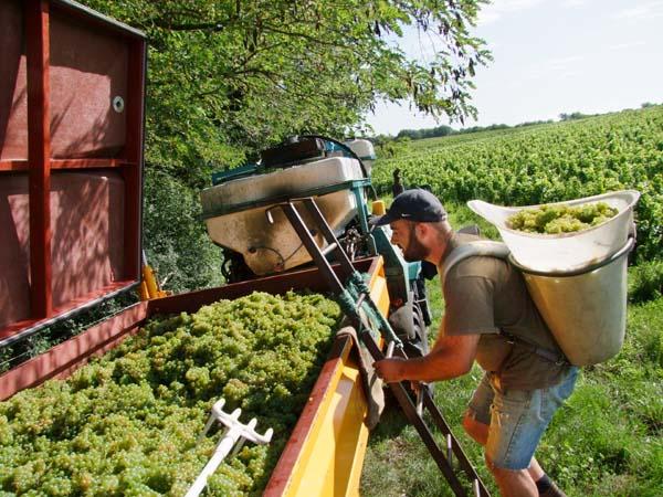 1CRB_harvest_sauvignon_laurent_climbing