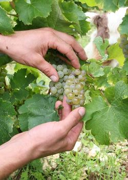 1alexandre_bain_ripe_sauvignon_grape