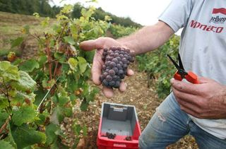 1joigny_pinot_gris_grappe