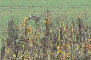 1guy_bussiere_roe_deer_vineyard