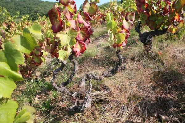 1julie_balagny_old_vines_fleurie