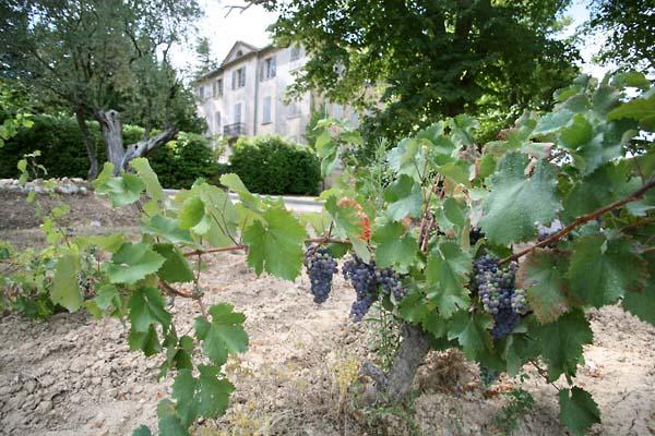 1chateau_sainte_anne_bandol_grapes