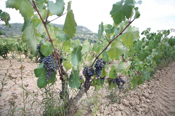 1chateau_sainte_anne_bandol_vine_grapes