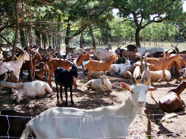 1goat_cheese_provence_herd
