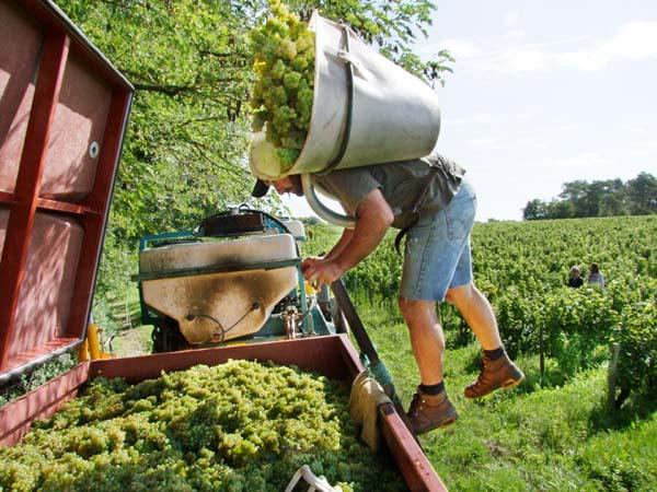 1CRB_harvest_sauvignon_laurent_emptying