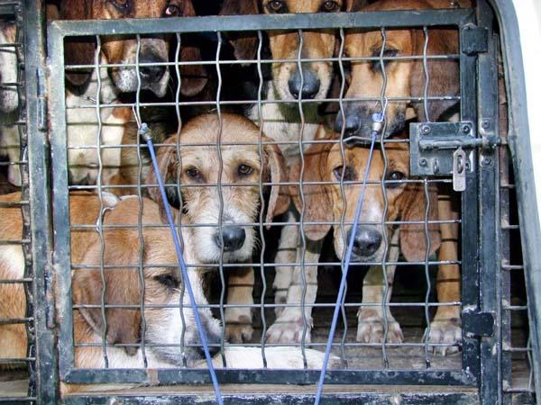 1fox_hunting_dogs_waiting