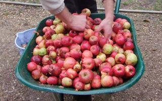 1cider_apples_pressing_apple_wheelbarrow