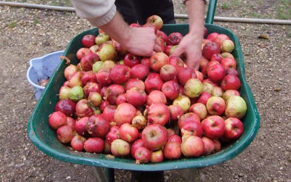 1cider_apples_pressing_apple_wheelbarrow