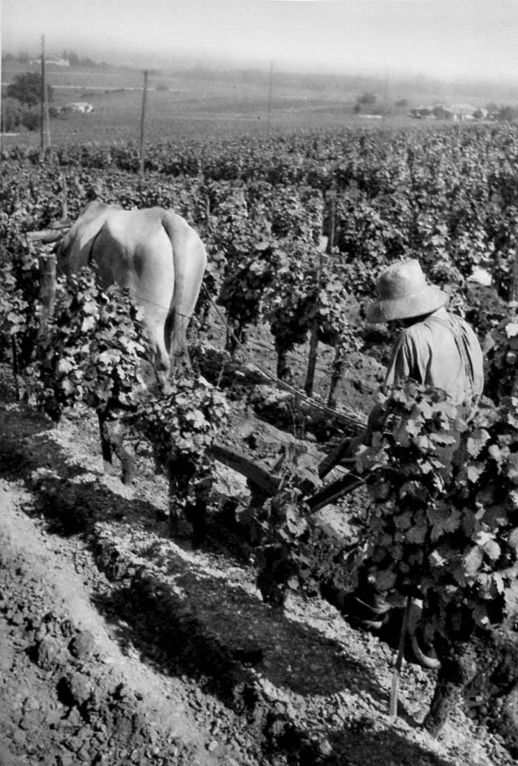 1_1930vignes_vignobles de sauternes