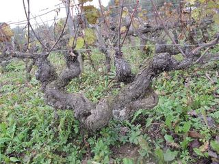 1guy_bussiere_old_vines_widespread