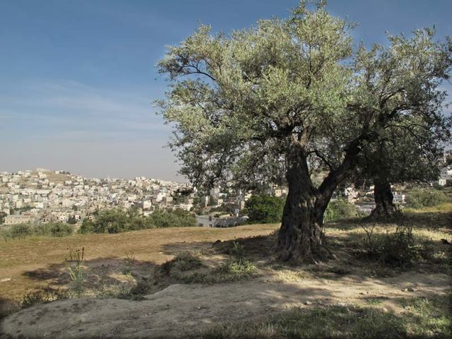 1hebron_centuries_old_olive_trees